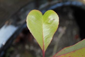 The Love Leaf